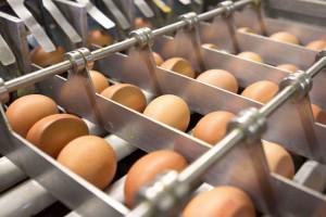 Egg handling/processing company